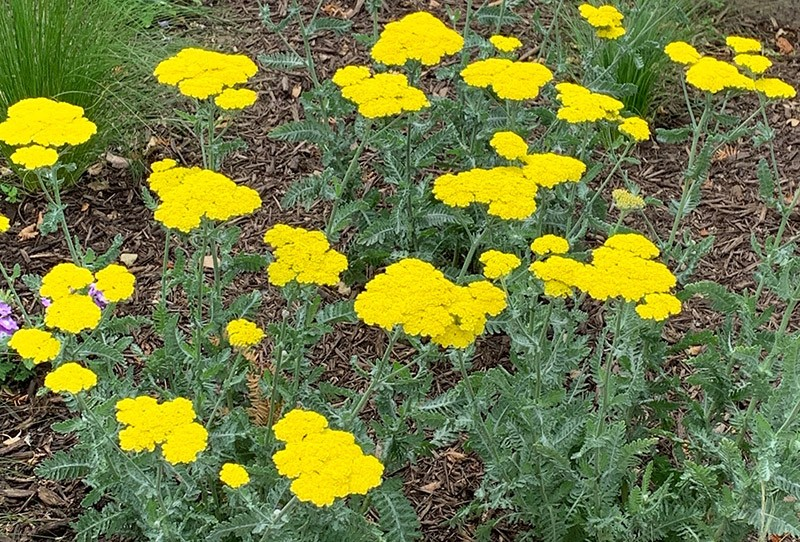 017_Yellow-Yarrow