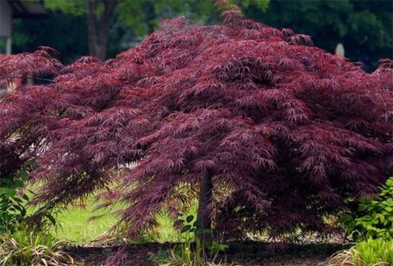 011_Japanese-Maple